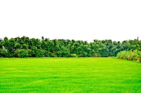 The Green rice field photo