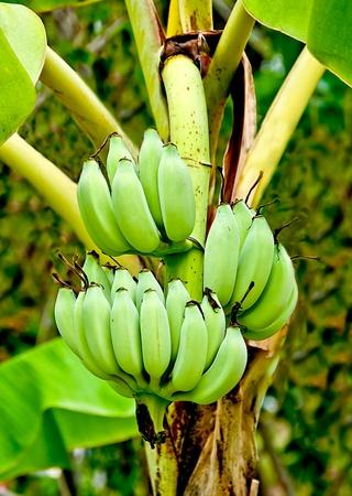 The Banana blossom and bunch on tree photo