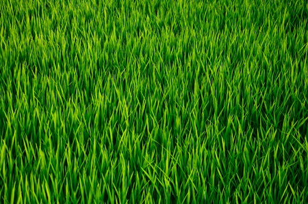 The Young rice field photo