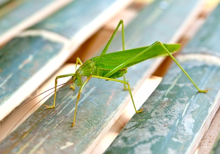 The Green grasshopper photo