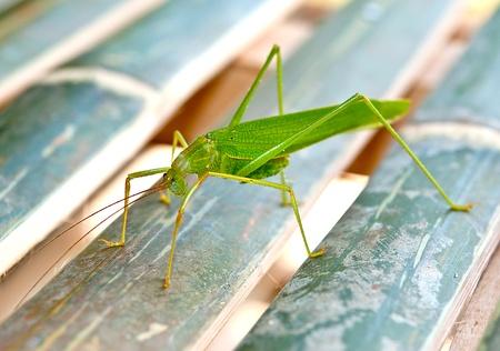 The Green grasshopper photo