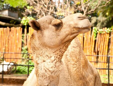 The Camel photo