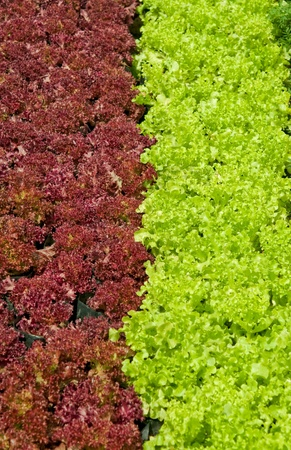 The Green and red oak on green house photo