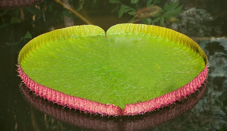 The Victoria Water Lily photo