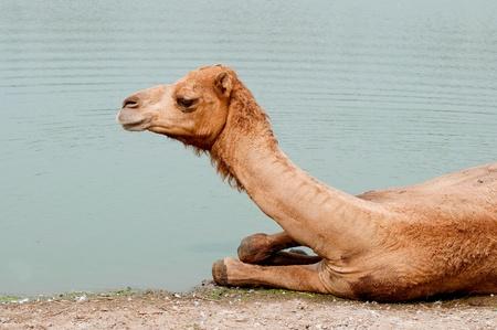 soak: The Camel soak on the water Stock Photo