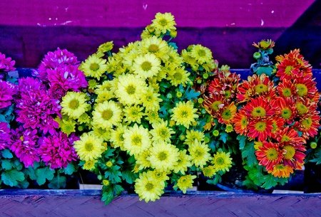 The Beautiful colorful flowers on pot Stock Photo - 13315225