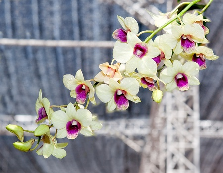 The Beautiful orchid Stock Photo - 13362688