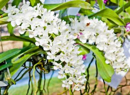 The Beautiful white orchid photo