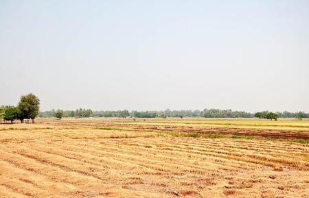 The Field rice after harvest photo