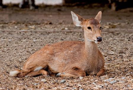 The Deer in zoo photo