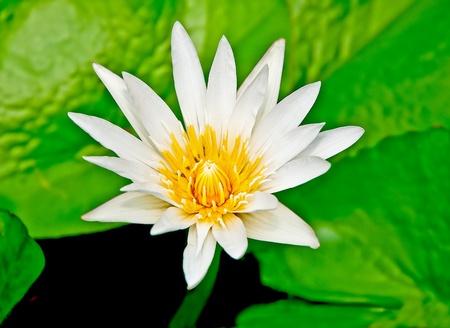 The White lotus Stock Photo - 13654147