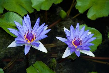 The Beautiful lotus Stock Photo - 13761872