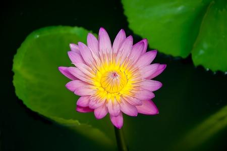 The Beautiful lotus  on pond Stock Photo - 13761852