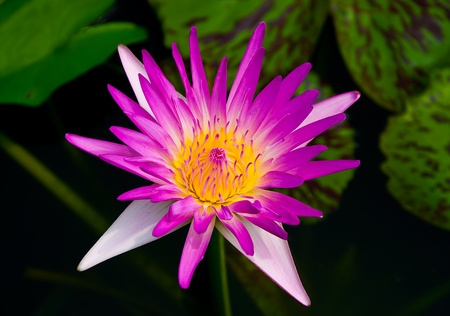 The Beautiful lotus  on pond Stock Photo - 13761851