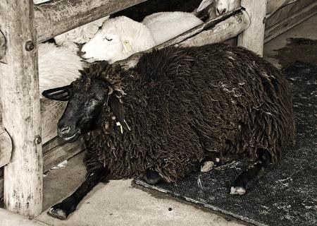 mouton noir: Le mouton noir dans la ferme Banque d'images