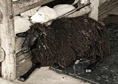The Black sheep in farm Stock Photo - 14227305