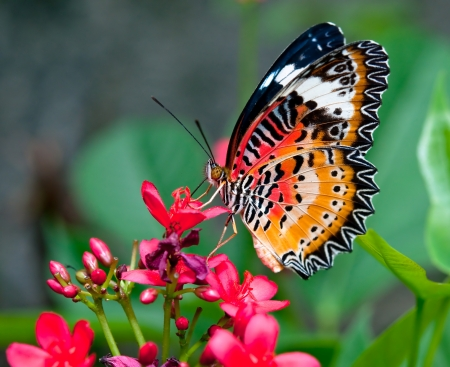 Der Schmetterling