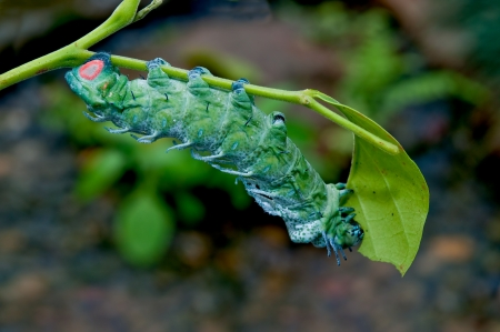The Caterpillar eating leaves of a tree photo