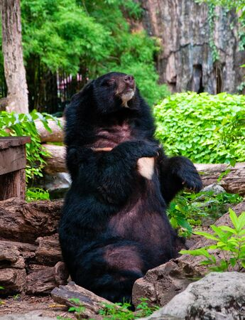 Big Black Bear in zoo