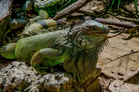 Green iguana in zoo photo