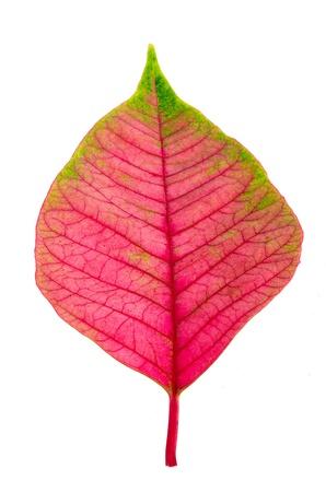 slight: Pink leaf isolated on white background Stock Photo