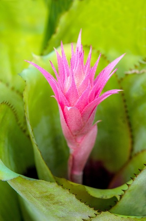 aechmea: Vriesea pineapple flower