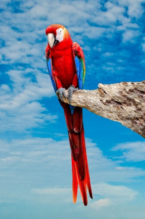 The Beautiful macaw isolated on white background photo