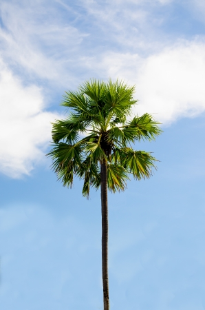 Palm tree on sky background photo