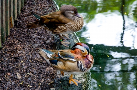Young mandarin duck photo