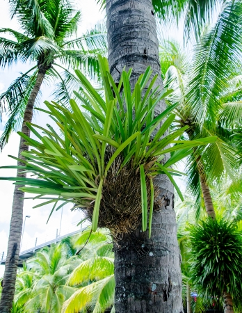 staghorn fern: Parasite plant on coconut  tree