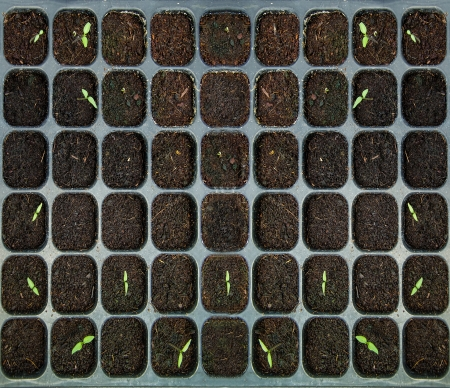 The Seedlings vegetable in plastic tray photo