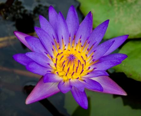 Purple lotus on pond Stock Photo - 20322944