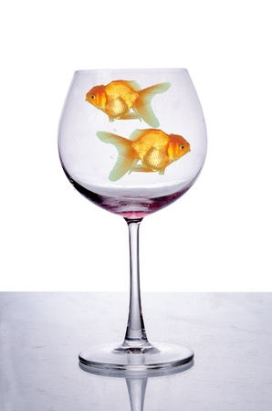 Golden fish swimming in  wine glass isolated on  white background photo