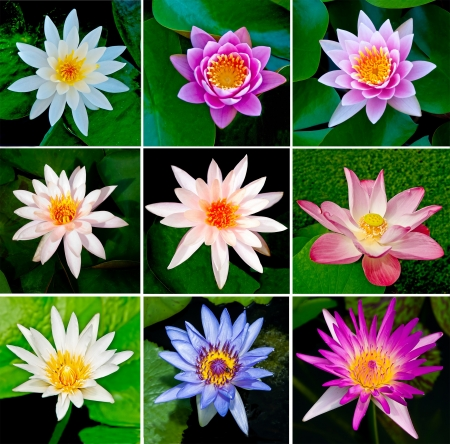 Collection of lotus photo