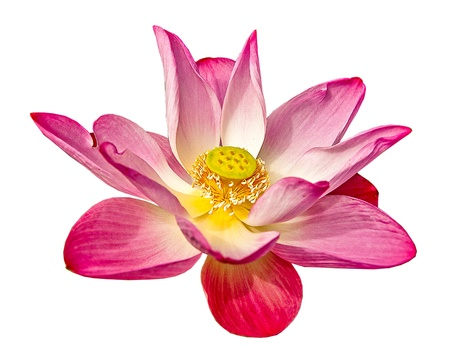 Pink lotus isolated on white background Stock Photo - 21405539