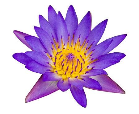 Purple lotus isolated on white background Stock Photo - 21405541