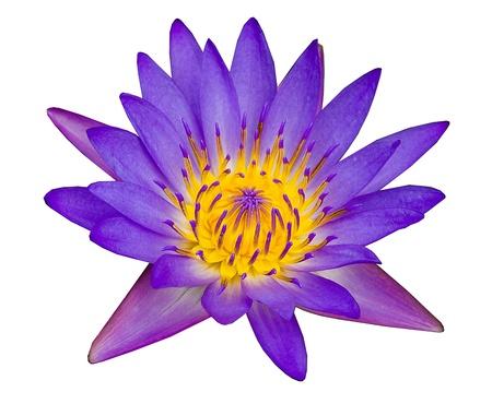 Purple lotus isolated on white background Stock Photo - 21405541