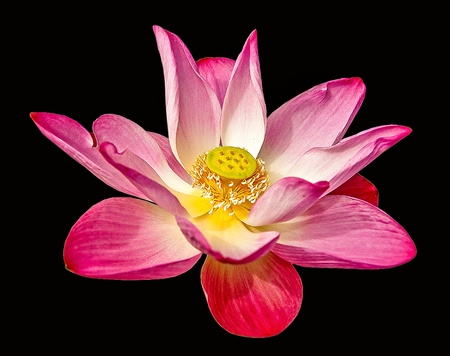 Pink lotus isolated on black background Stock Photo - 21405607
