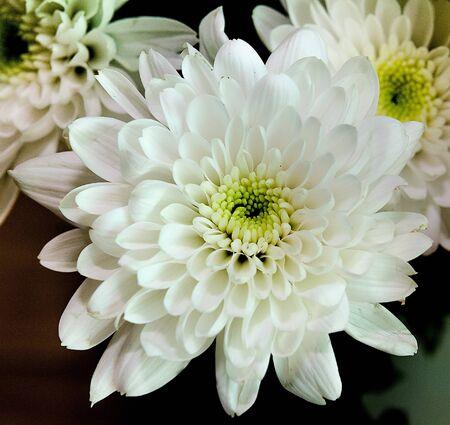 White hydrangea flowers photo