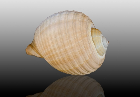 Sea shell isolated on reflect background