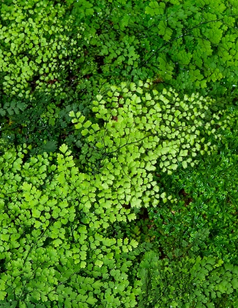 Maidenhair fern or Adiantum Fern background photo