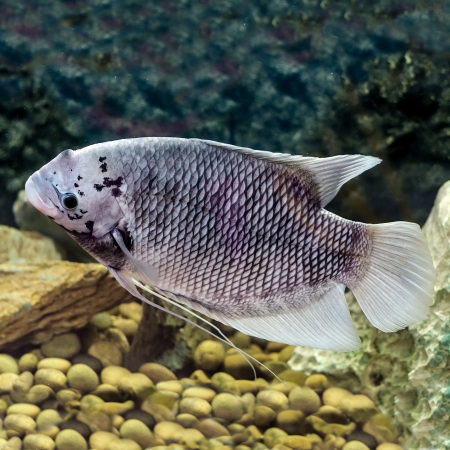 Beautiful tilapia fish in water tank