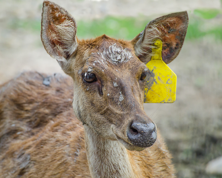 whitetail buck: Young deer in farm Stock Photo