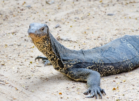lumpini: Varanus salvator lizard Stock Photo