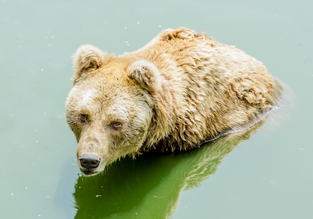 Grizzly bear in zoo photo