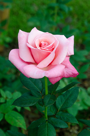 Beautiful pink rose in the garden photo