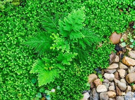 Beautiful of fern in the garden Stock Photo - 24351134