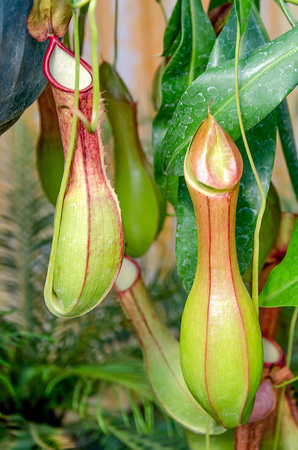 pitfall: Nepenthes or Monkey Cups
