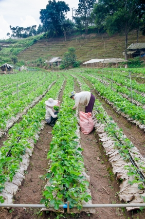 season specific: Mae Hong Son, THAILAND - Nov. 23: Woman Harvests pick Strawberry in Strawberry plantation field, season specific in Mae hong sons winter November 23, 2013 in Mae Hong Son, Thailand.