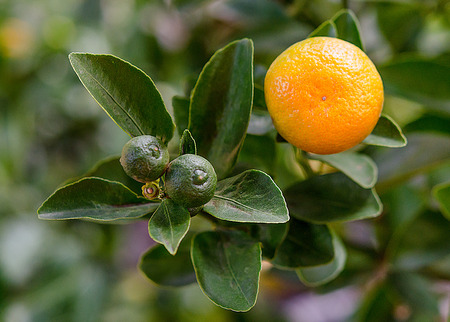 Fresh orange on plant Stock Photo - 25677310